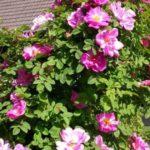 "Роза""Marguerite Hilling"""