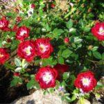 "Роза""Red Blanket"""