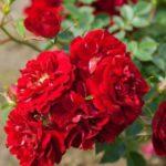 """Роза""""Red Fairy"""""""