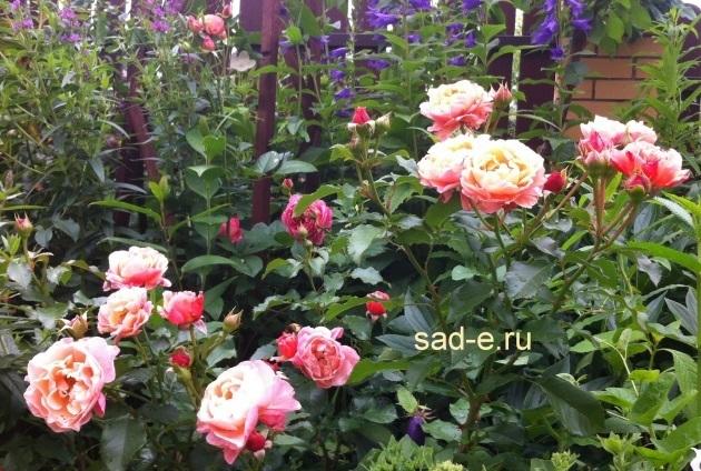 Розы в тени