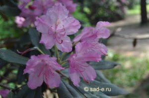 Рододендрон японский
