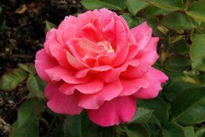 """роза """"Audrey Wilcox"""" Flyer's"""