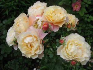 "роза ""Calapuno"" Noak"