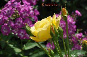 Розы и флоксы