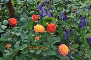 Колокольчик Такесима с розами
