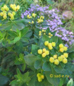 цветки молочая