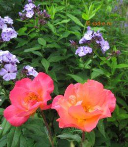 Флокс и роза