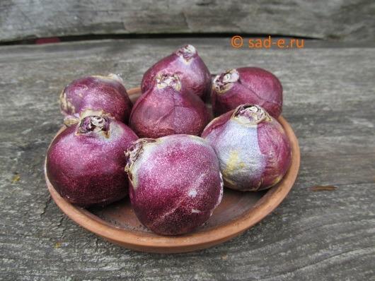 луковицы гиацинта