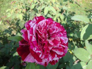 """роза """"Ottavio Missoni"""" Barni"""