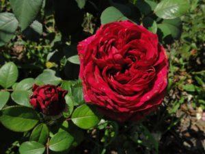 "роза ""Rose des 4 Vents""Delbard"