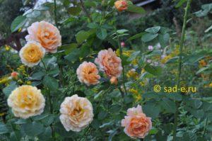 "Розы ""Polka"" и ""MichKa"" Meilland"