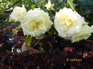 """Роза """"Elfe"""" и седум"""