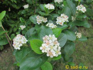 цветки черноплодной рябины