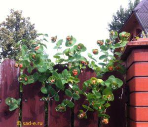 жимолость вьющаяся плоды