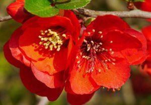 айва красные цветы