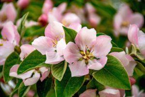розовые цветки айвы