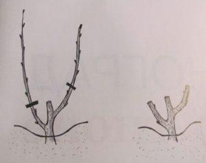 виноград весной на второй год после посадки