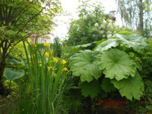 Ирис болотный в дизайне сада