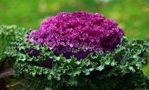 Декоративная капуста красотка