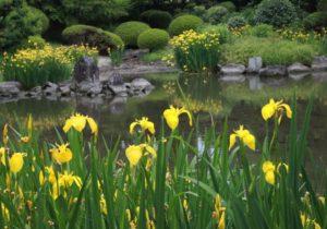 Ирис-болотный в ландшафтном дизайне фото