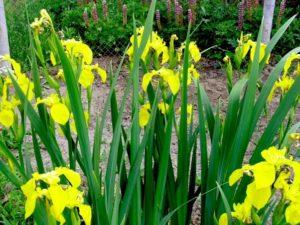 ирис болотный цветки