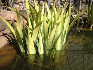 Ирис болотный вариегата