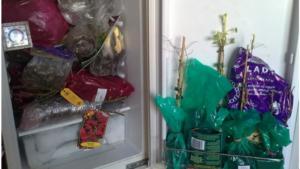 Саженцы в холодильнике