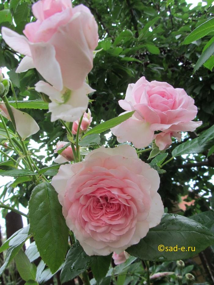Розы летом